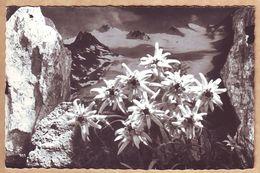 Edelweiss In Den österreichischen Alpen - Ungelaufen - Fleurs