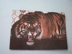 Tiger, ZOO Palic, Subotica,  Srbija - Tigers