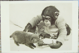 Monkey With Two Foxes / Turkey Edition - Singes