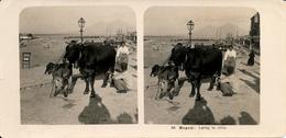 Napoli, Naples, Cows, Lattaj, Milking, Steglitz, Berlin - Stereoscopio