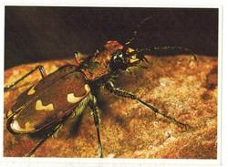 Image Chocolat Poulain Série N° 25 : Connaissance Des Insectes => Image N° 18 - La Cicindèle - Poulain