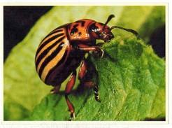Image Chocolat Poulain Série N° 25 : Connaissance Des Insectes => Image N° 23 - Le Doryphore - Poulain