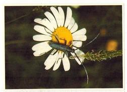 Image Chocolat Poulain Série N° 25 : Connaissance Des Insectes => Image N° 24 - Le Petit Capricorne - Poulain