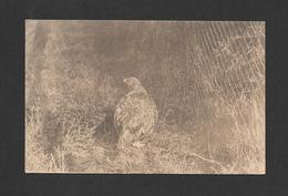 ANIMALS - ANIMAUX - OISEAUX - BIRDS - RED GROUSE - SCOTTISH ZOOLOGICAL PARK - PHOTO T.H. GILLESPIE - Oiseaux