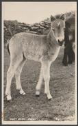 Foal, Dartmoor Pony, Devon, C.1930 - Kenneth E Ruth RP Postcard - Horses
