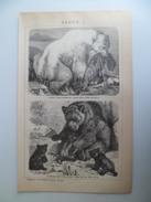 Lithographie Gravure 1901 Brockhaus Bären Les Ours ( Ursidae ) Polaire Brun Coati Raton Laveur - Stiche & Gravuren