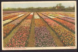 Nederland 1948, Bloembollenvelden, Tulpen, Ingekleurd, Gelopen - Bloemen