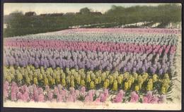 Nederland, Bloembollenvelden, Hyacinthenvelden, Ingekleurd, Gelopen, Oude Briefkaart - Bloemen