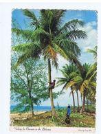 BAHAMAS - CLIMBING FOR COCONUTS - EDIT LARRY WITT  - 1964 ( 1733 ) - Cartes Postales