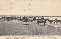 A Beef Herd Watering At A Lake - 1907    (A-41-160625) - Reno