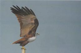 India  Birds...BRAHMINY KITE...  PPC   # 82019  Inde Indien - Eagles & Birds Of Prey