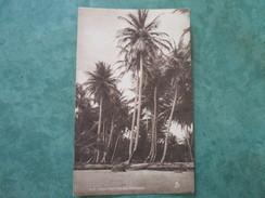 COCO-NUT PALM - Trinidad