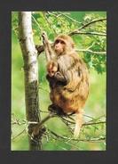 ANIMAUX - ANIMALS - MACAQUE RHESUS ET SON PETIT - PHOTO ROGER PUILLANDRE - Singes