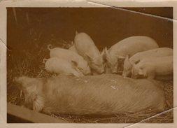 Grande Photo Originale Animaux - Cochon - Une Truie Allaitant Ses Petits - Personnes Anonymes