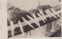 Nome Alaska, Walrus Heads Tusks Hunting Theme, C1900s Vintage Real Photo Postcard - Other