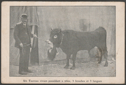 Freak Bull With Two Heads, Three Mouths And Three Tongues, C.1910 - Postcard CPA - Bull