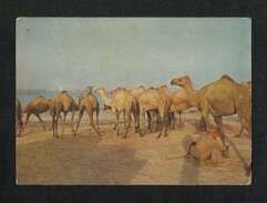 Bahrain Picture Postcard Camels At Sitra View Card - Bahrain