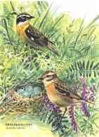 6177  Tarier Des Prés (Saxicola Rubetra): Cpa D'Allemagne -  Whinchat  Postcard From Germany - Birds