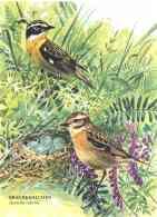 6177  Tarier Des Prés (Saxicola Rubetra): Cpa D'Allemagne -  Whinchat  Postcard From Germany - Oiseaux