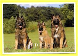Hund ☼ Dog ☼ Berger Belge Tervueren - Belgischer Schäferhund - Belgian Shepherd - Chiens