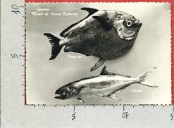 CARTOLINA VG ITALIA - GENOVA - Museo Di Storia Naturale - Pesce Re - Leccia - 10 X 15 - ANN. 195? - Pesci E Crostacei