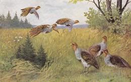 Chasse, Hunting Quail Kwartel  Patridges  Oiseau  Geflügel Illustrateur  Old  Postcard. Cpa. Ca. 1920 - Hunting