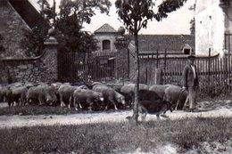 Photo Originale Un Berger, Son Chien Berger Allemand Et Son Troupeau De Mouton Pour L'entretien Des Routes - Métiers