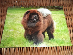 Hund Dog Chien Chow Chow Postkarte - Chiens