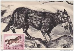 Carte-Maximum ALBANIE  N° Yvert 682 (CHACAL) Obl Sp 1964 - Albania