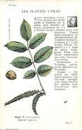 -themes Div- Ref R658- Illustrateurs - Illustrateur Fleurs - Plantes Medicinales -les Plantes Utiles - Noyer  - - Plantes Médicinales