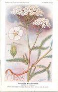 -themes Div- Ref R648- Illustrateurs - Illustrateur Fleurs - Plantes Medicinales -les Plantes Utiles- Achillée Millefeui - Plantes Médicinales