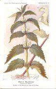 -themes Div- Ref R644- Illustrateurs - Illustrateur Fleurs Frantz - Plantes Medicinales - Ortie Blanche  - - Plantes Médicinales