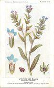 -themes Div- Ref R643- Illustrateurs - Illustrateur Fleurs Frantz - Plantes Medicinales - Lycopside Des Champs  - - Plantes Médicinales