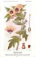 -themes Div- Ref R638- Illustrateurs - Illustrateur Fleurs Frantz - Plantes Medicinales - Jusquiame Noire  - - Medicinal Plants