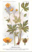 -themes Div- Ref R637- Illustrateurs - Illustrateur Fleurs Frantz - Plantes Medicinales - Renoncule Acre  - - Plantes Médicinales
