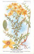 -themes Div- Ref R636- Illustrateurs - Illustrateur Fleurs Frantz - Plantes Medicinales - Millepertuis Perforé  - - Plantes Médicinales