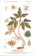 -themes Div- Ref R634- Illustrateurs - Illustrateur Fleurs Frantz - Plantes Medicinales - Anemone Des Bois  - - Plantes Médicinales