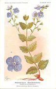 -themes Div- Ref R633- Illustrateurs - Illustrateur Fleurs Frantz - Plantes Medicinales - Veronique Germandrée - - Plantes Médicinales