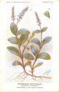 -themes Div- Ref R632- Illustrateurs - Illustrateur Fleurs Frantz - Plantes Medicinales - Veronique Officinale - - Plantes Médicinales