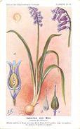 -themes Div- Ref R630- Illustrateurs - Illustrateur Fleurs Frantz - Plantes Medicinales - Jacinthe Des Bois - - Plantes Médicinales