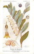 -themes Div- Ref R629- Illustrateurs - Illustrateur Fleurs Frantz - Plantes Medicinales - Sceau De Salomon  - - Plantes Médicinales