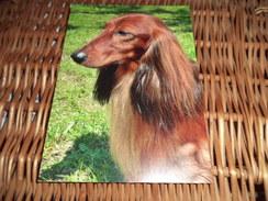 Hund Dog Postkarte Dachshund Dackel Teckel - Hunde