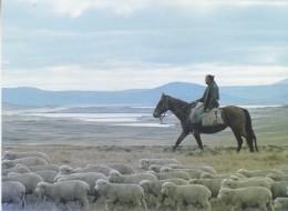 Falkland Islands Fred Coutts Driving Lambs In West Falklands  Postcard Unused (33334) - Falklandeilanden