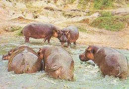 Animaux Divers        H118        Afrique Du Sud.Wild Life.Hippopotames - Hippopotames