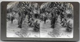 S0585 - Américan Stéréoscopic Company - Noix De Coco. Palmiers - FLORIDA - Stereoscopio