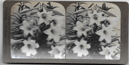 S0586 - Américan Stéréoscopic Company - Fleurs De Lys - Stereoscopio