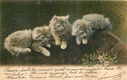 CHATONS 1904 - Chats