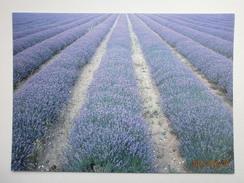 Postcard Norfolk Lavender Cultivation Farming Growing My Ref B21408 - Cultivation