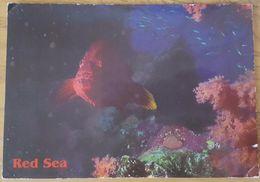 CORAL GROUPER AND RED SEA VEGETATION - Corallo - Red Coral - Corail - Koralle Egypt - Pesci E Crostacei