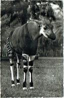 Carte Photo. Congo. Léopoldville. Okapi. - Belgisch-Congo - Varia